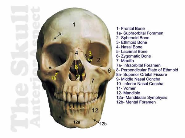 Dem Bones- Skull Anterior answers