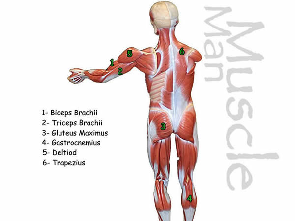 Muscle Model Back answers