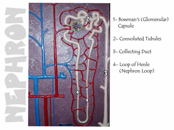 Nephron Model