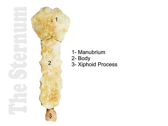 Dem Bones- Axial Sternum