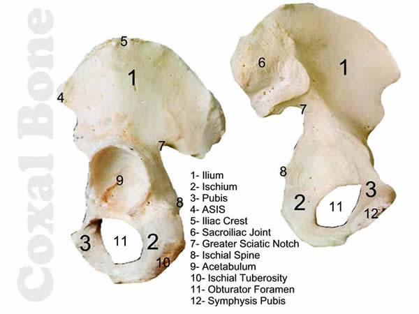dem bones- appendicular coxal bone, Cephalic Vein